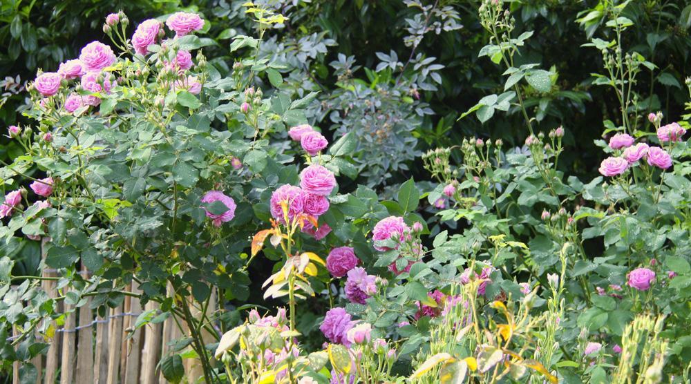 Cottage Garten - Rosen